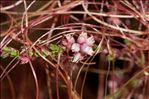 Cuscuta epithymum (L.) L. subsp. epithymum