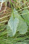 Phyteuma ovatum Honck.