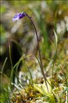 Photo 7/15 Pinguicula vulgaris L.