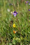Photo 4/15 Pinguicula vulgaris L.