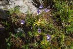 Photo 1/15 Pinguicula vulgaris L.