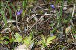 Photo 11/15 Pinguicula vulgaris L.