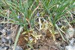 Photo 15/15 Pinguicula vulgaris L.