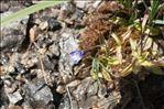 Photo 14/15 Pinguicula vulgaris L.
