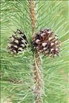 Pinus mugo subsp. uncinata (Ramond ex DC.) Domin