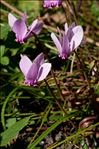 Photo 2/3 Cyclamen hederifolium Aiton