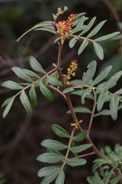 Pistacia lentiscus L.