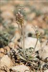 Plantago albicans L.