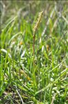 Photo 2/5 Plantago crassifolia Forssk.