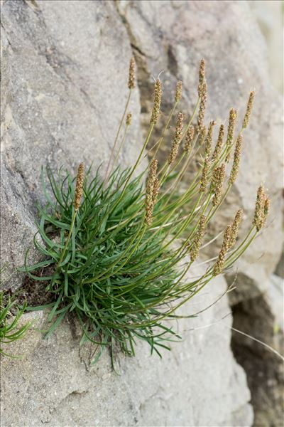 Plantago maritima subsp. serpentina (All.) Arcang.