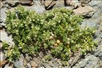 Photo 1/6 Polycarpon polycarpoides (Biv.) Zodda
