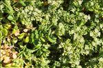 Polycarpon polycarpoides subsp. catalaunicum O.Bolòs & Vigo
