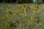 Photo 2/7 Cyperus eragrostis Lam.