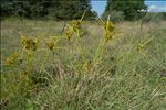 Photo 1/7 Cyperus eragrostis Lam.