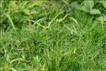 Photo 5/7 Cyperus eragrostis Lam.
