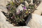 Photo 1/9 Polygala rupestris Pourr.
