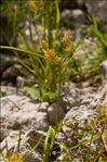 Photo 1/4 Cyperus esculentus L.