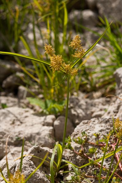Cyperus esculentus L.
