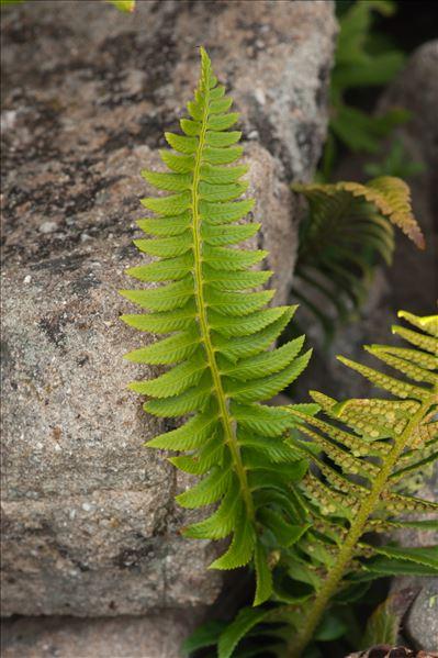 Polystichum lonchitis (L.) Roth