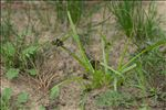 Photo 2/2 Cyperus fuscus L.