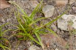 Photo 3/3 Cyperus fuscus L.