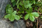 Potentilla caulescens L.