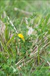 Photo 5/5 Cytisus lotoides Pourr.