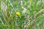 Photo 4/5 Cytisus lotoides Pourr.