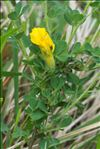 Photo 3/5 Cytisus lotoides Pourr.