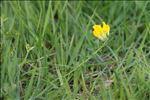 Photo 2/5 Cytisus lotoides Pourr.