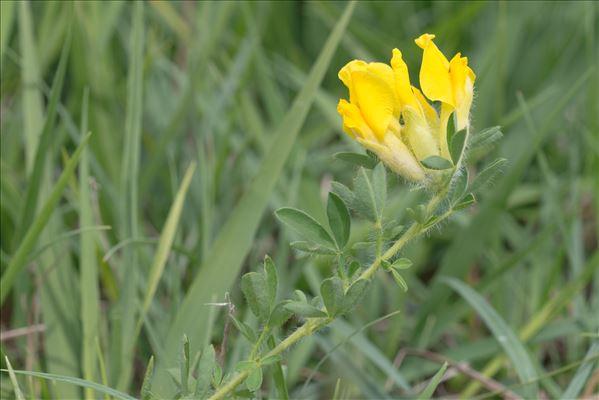 Cytisus lotoides Pourr.