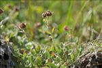 Photo 5/5 Potentilla nitida L.