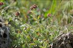 Photo 4/5 Potentilla nitida L.