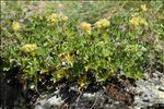 Photo 1/10 Potentilla valderia L.