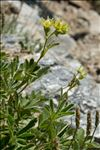 Photo 2/10 Potentilla valderia L.