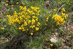 Cytisus oromediterraneus Rivas Mart., T.E.Díaz, Fern.Prieto, Loidi & Penas