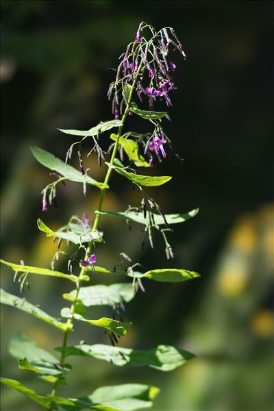 Prenanthes purpurea L.