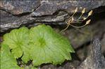 Primula matthioli (L.) J.A.Richt.