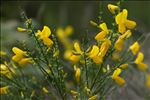Photo 6/8 Cytisus scoparius (L.) Link