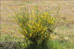 Photo 1/8 Cytisus scoparius (L.) Link