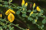 Photo 4/6 Cytisus scoparius (L.) Link