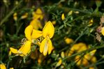 Photo 3/6 Cytisus scoparius (L.) Link
