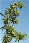 Photo 1/4 Prunus dulcis (Mill.) D.A.Webb