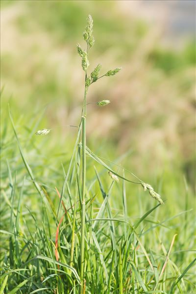 Dactylis glomerata subsp. lobata (Drejer) H.Lindb.