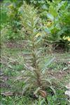 Photo 1/3 Ptilostemon casabonae (L.) Greuter