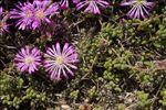 Drosanthemum hispidum (L.) Schwantes