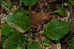 Pyrola minor L.