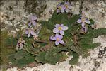 Ramonda myconi (L.) Rchb.