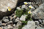 Ranunculus glacialis L.