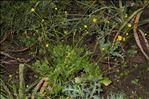 Photo 4/5 Ranunculus macrophyllus Desf.